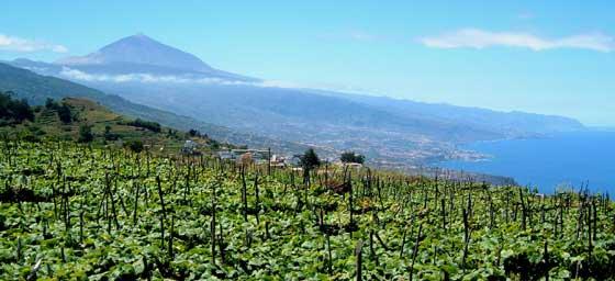 Weinbau auf Teneriffa